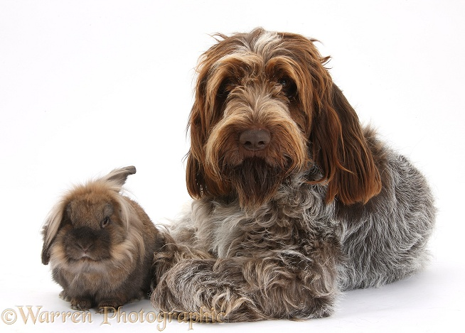 Brown Roan Italian Spinone dog, Riley, with Lionhead-cross rabbit, white background