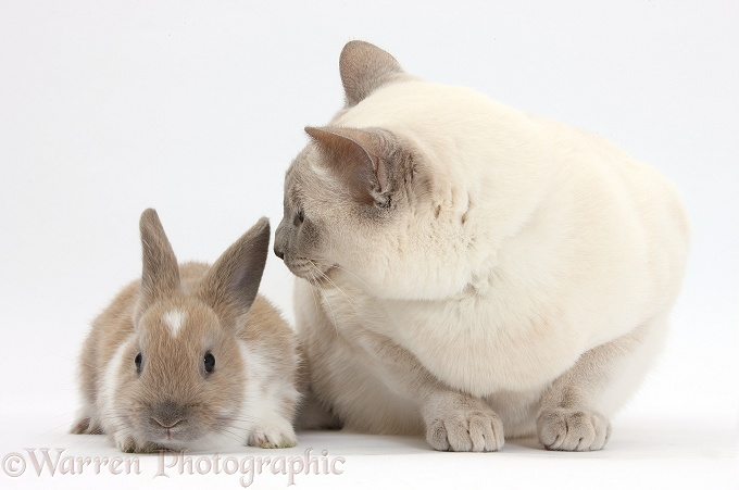 Siamese-cross cat, Isaac, and baby rabbit, white background