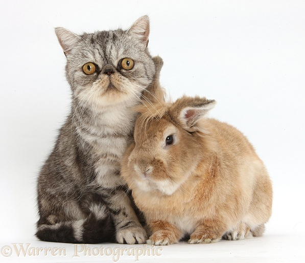 Silver tabby Exotic male cat, Bugsie, 5 years old, and Lionhead-cross rabbit, white background