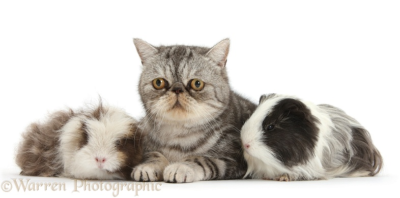 Long-haired Guinea pigs and Silver tabby Exotic male cat, Bugsie, 5 years old, white background