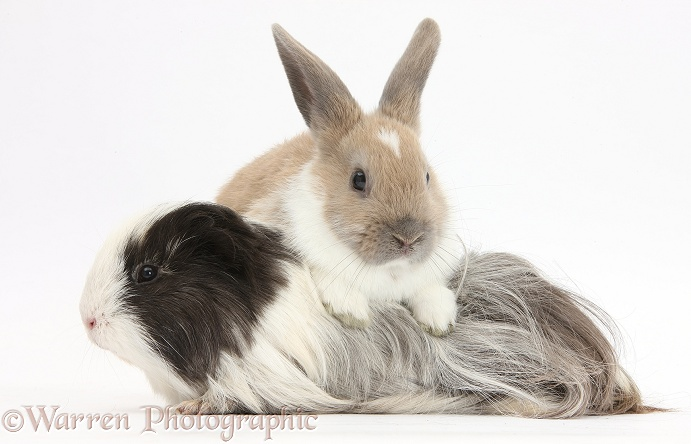 Baby rabbit and long-haired Guinea pig, white background