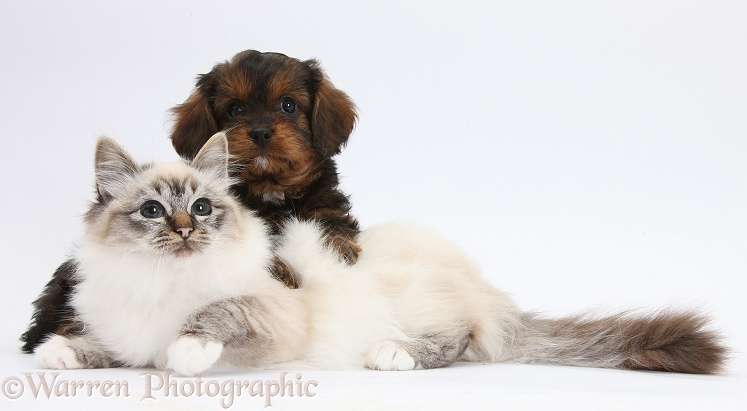 Black-and-tan Cavapoo pup and tabby-point Birman cat, white background