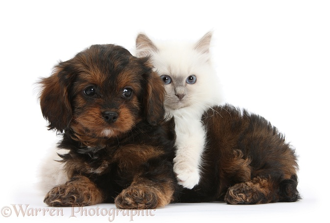 Black-and-tan Cavapoo pup and blue-point kitten, white background