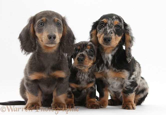 Blue-and-tan Dachshund pup, Baloo, and tricolour merle Dachshund pups, white background