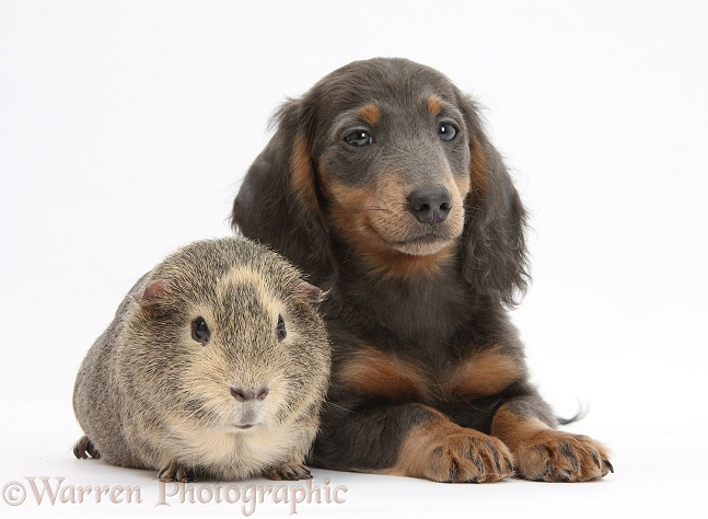 Guinea pig and blue-and-tan Dachshund pup, Baloo, 15 weeks old, white background