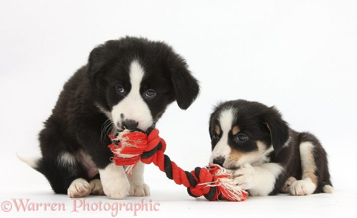 Border Collie puppies, 6 weeks old, white background