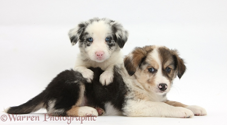 Tricolour and merle Border Collie puppies, 6 weeks old, white background