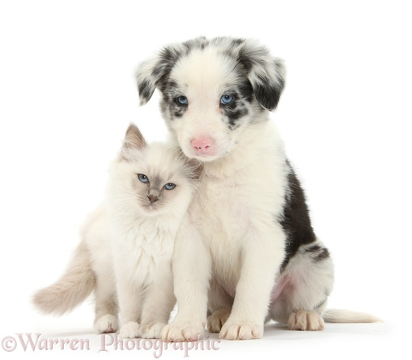 Blue-point kitten and merle-and-white Border Collie puppy, 6 weeks old, white background