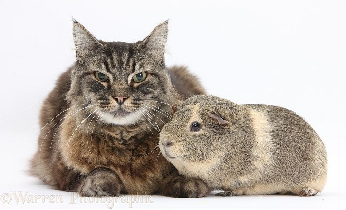 Elderly Tabby Manx x Turkish Van cat, Jack, 13 years old, with a Guinea pig, white background