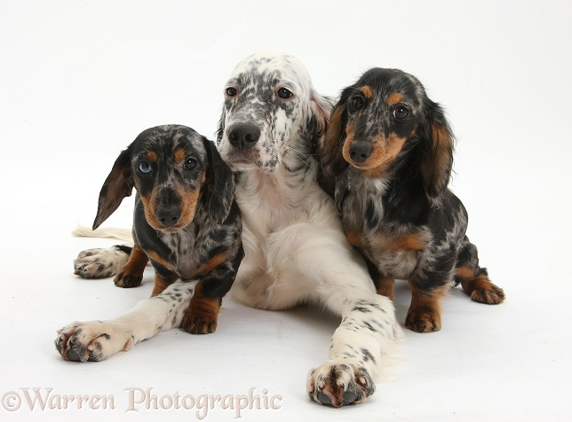 Blue Belton English Setter pup, Belle, 16 weeks old, with Dachshund pups, white background
