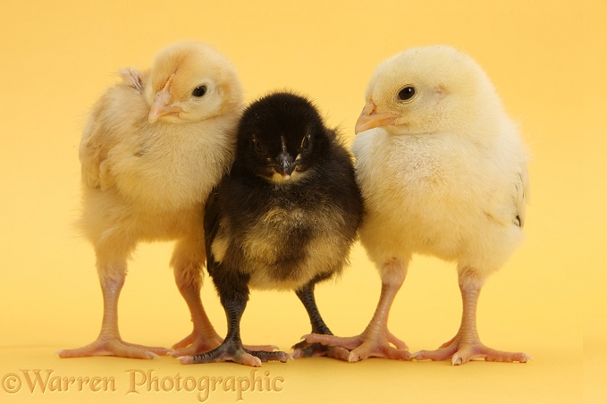Yellow and black Bantam chicks