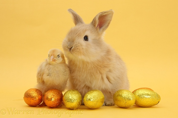 Sandy baby rabbit and yellow bantam chick with Easter eggs on yellow background