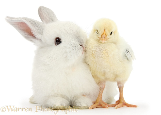 White rabbit kissing a yellow bantam chick, white background