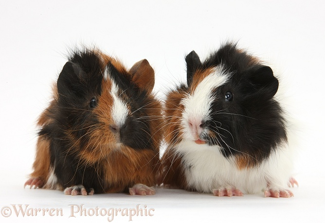 Young tricolour Guinea pigs, white background