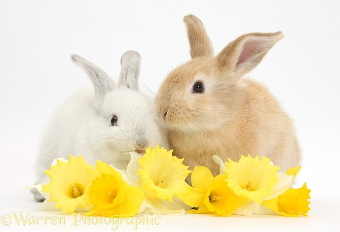Young rabbits with daffodils, white background