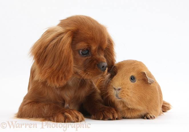 Ruby Cavalier King Charles Spaniel pup, Flame, 12 weeks old, and red Guinea pig, white background