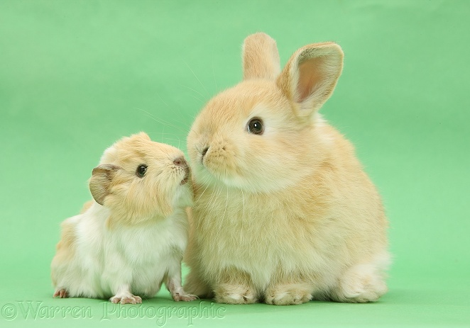 Young rabbit with baby Guinea pig on green background