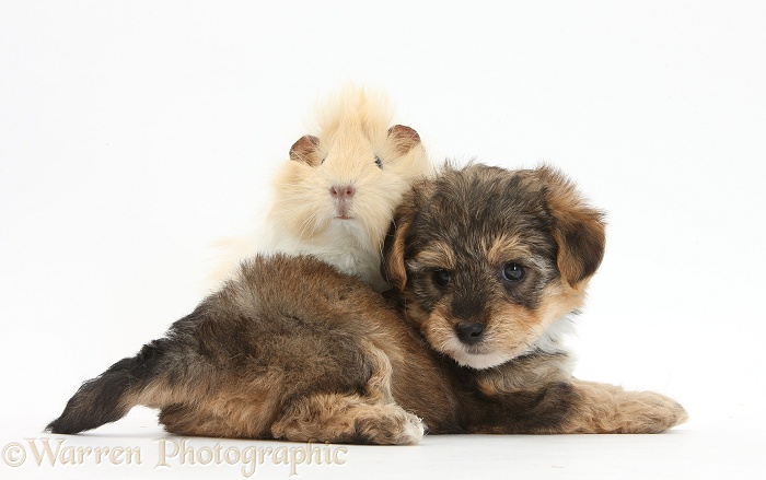 Yorkipoo pup, 6 weeks old, with Guinea pig, white background