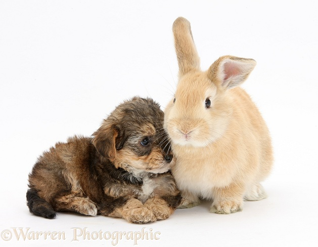 Yorkipoo pup, 6 weeks old, with sandy rabbit, white background