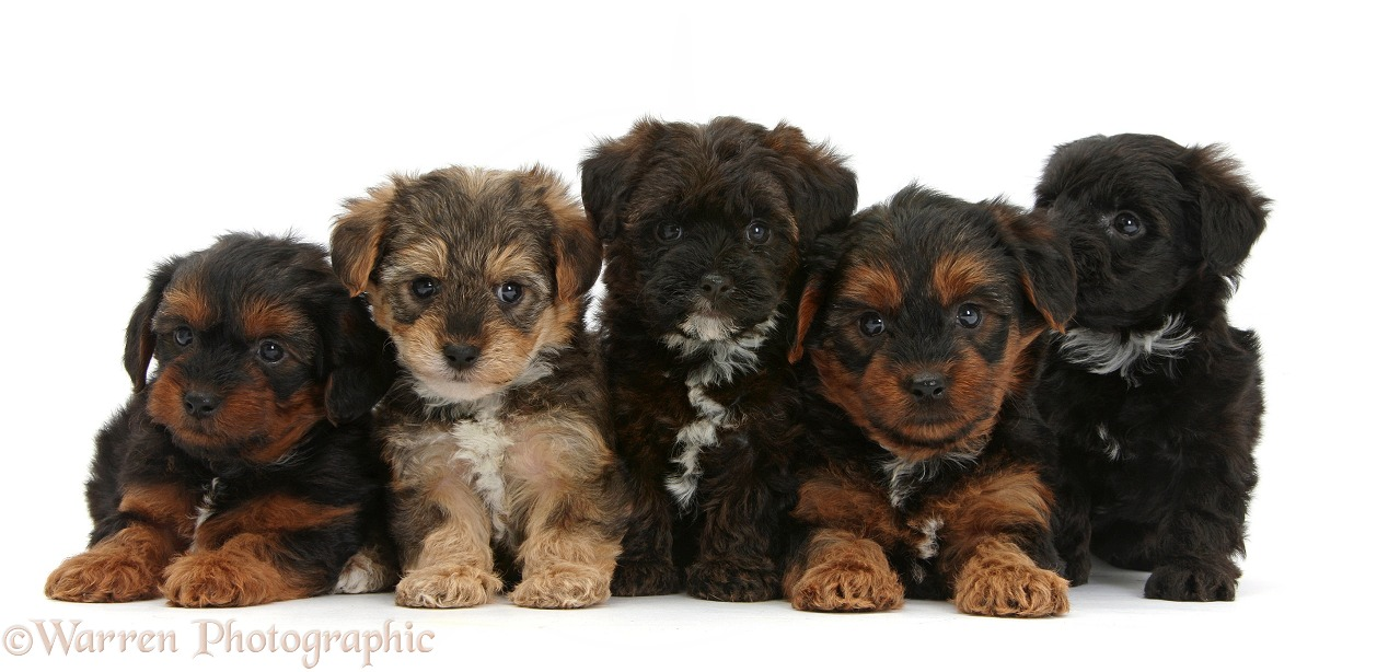 Five Yorkipoo pups, 6 weeks old, white background