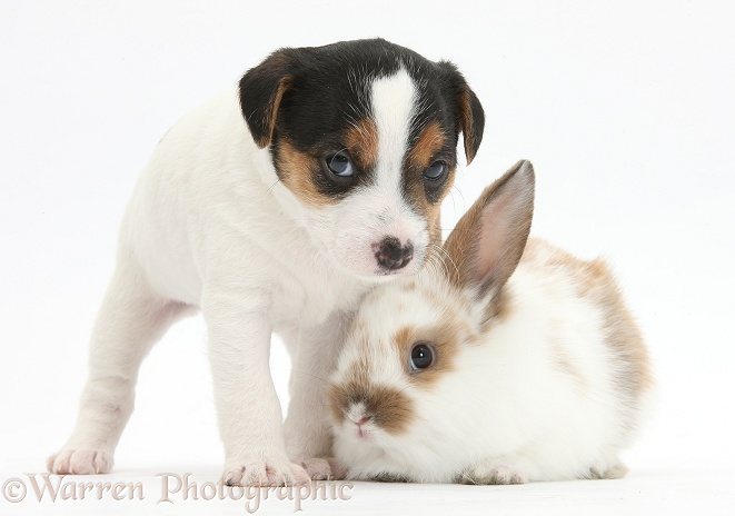 Jack Russell Terrier puppy, 4 weeks old, and baby rabbit, white background