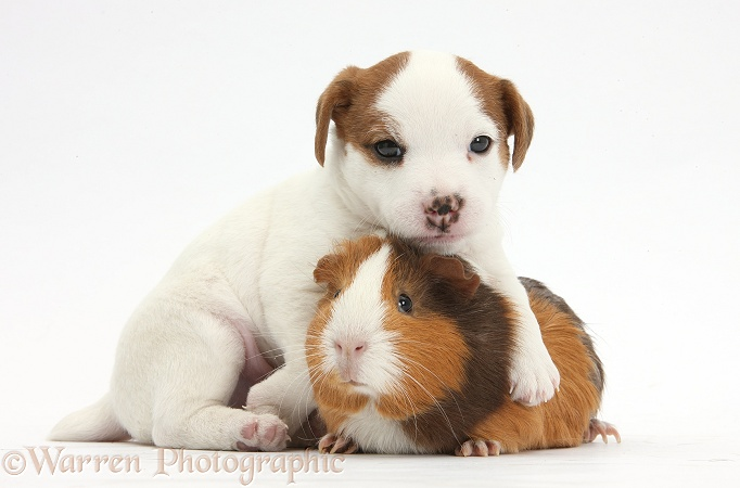 Jack Russell Terrier puppy, 4 weeks old, and Guinea pig, white background