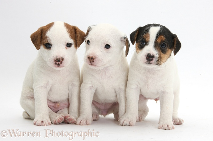 Three Jack Russell Terrier puppies, 4 weeks old, white background