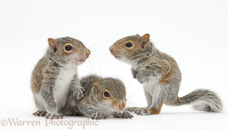 Young Grey Squirrels
