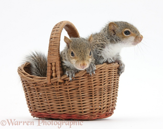 Young Grey Squirrels in a wicker basket