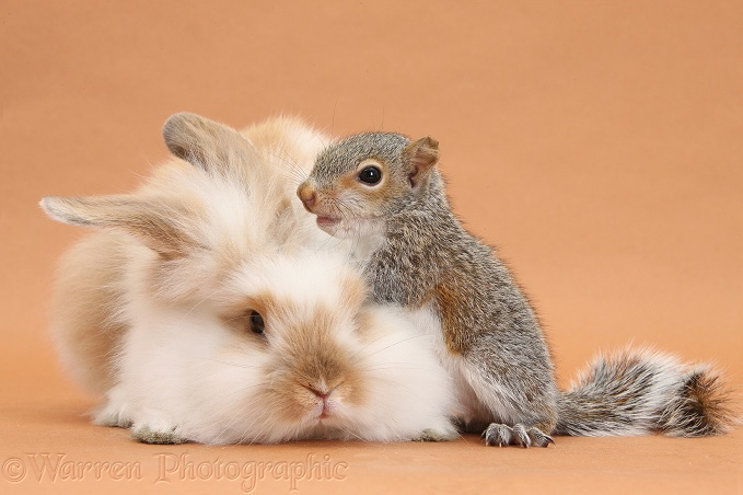 Young fluffy rabbit and Grey Squirrel on brown background