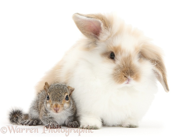 Young Grey Squirrel and fluffy rabbit, white background