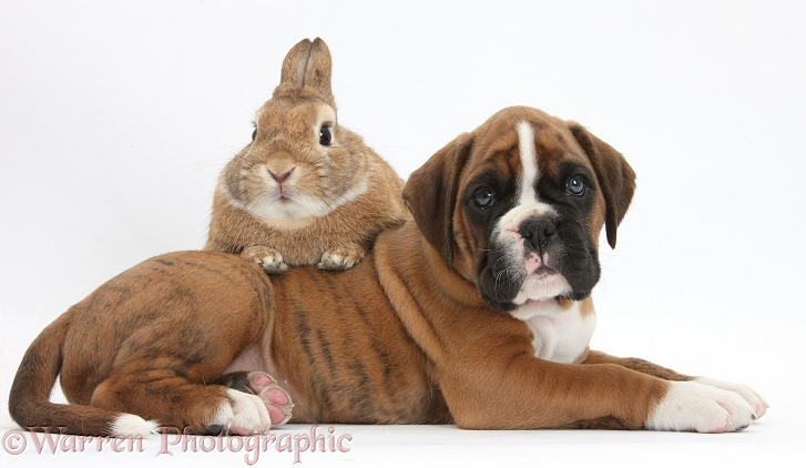 Boxer puppy and Netherland-cross rabbit, Peter, white background