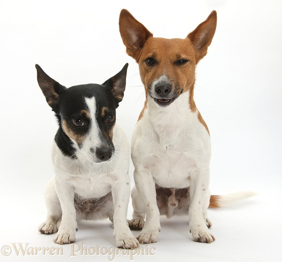 Jack Russell Terrier dog, Rockie, and bitch, Rubie, white background