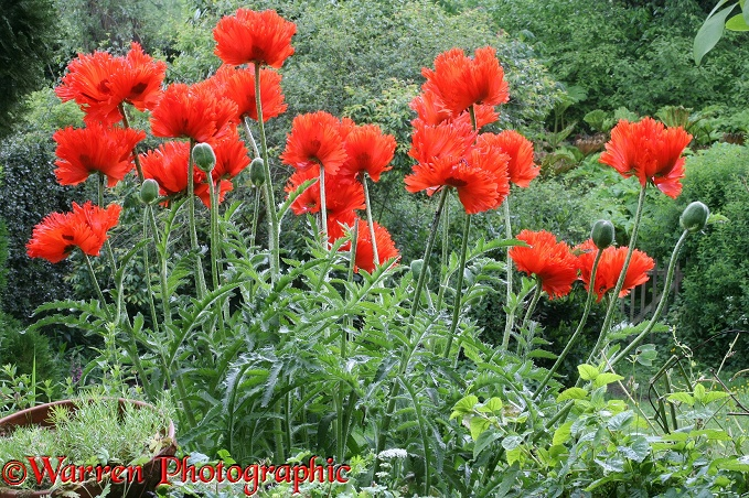 Red Oriental Poppy (Papaver orientale) flowers