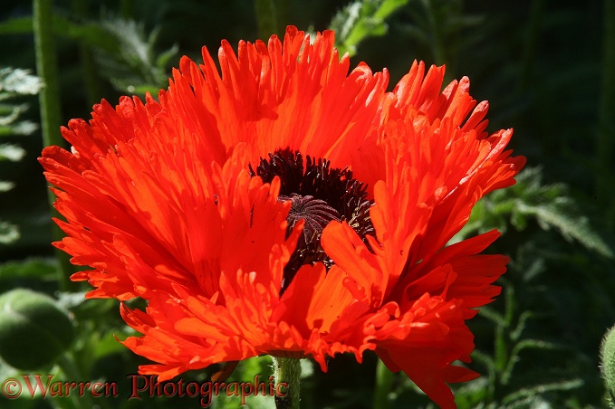 Red Oriental Poppy (Papaver orientale) flower