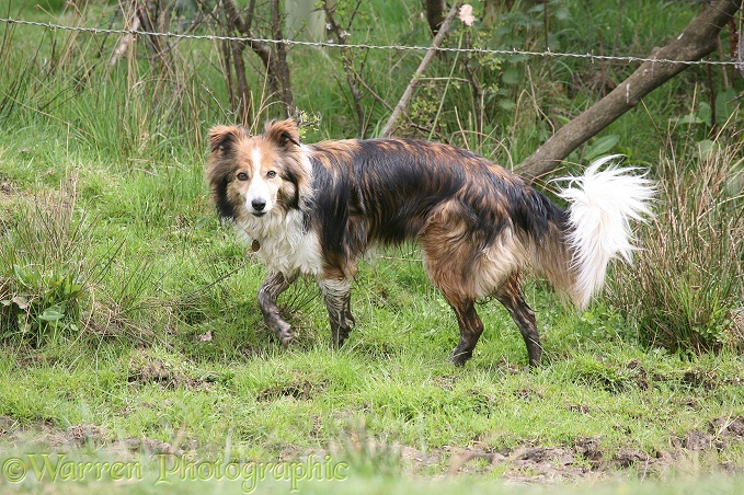 Sable border collie Teal after mud bath