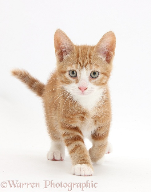 Ginger kitten, Ollie, 10 weeks old, walking forward, white background