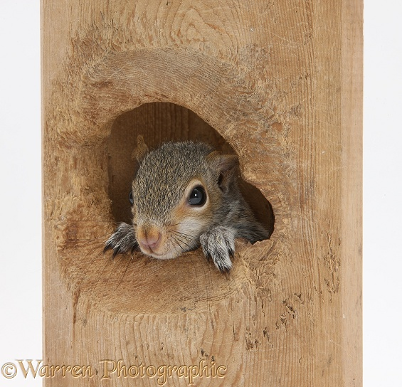 Young Grey Squirrels (Sciurus carolinensis) looking out of a hole in a hollow bit of wood, white background