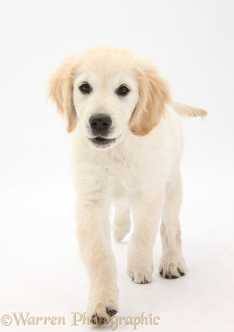 Golden Retriever dog pup, Oscar, 3 months old, trotting forward, white background