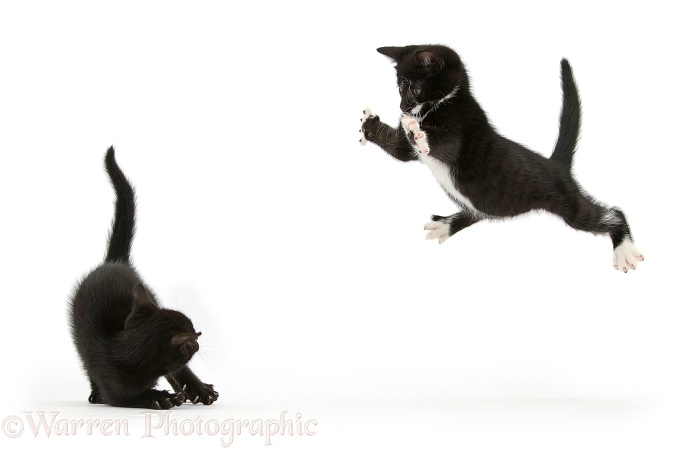 Black-and-white tuxedo kitten, Tuxie, 8 weeks old, taking a playful flying leap at his brother, Buxie, white background