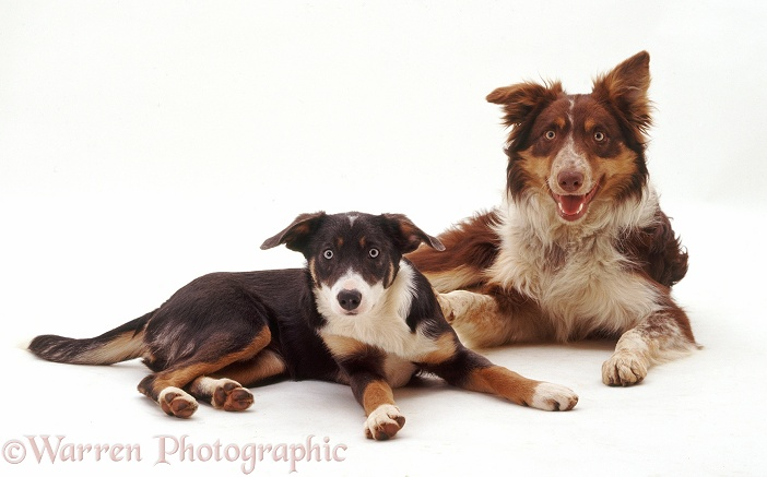 Red and blue Border Collies