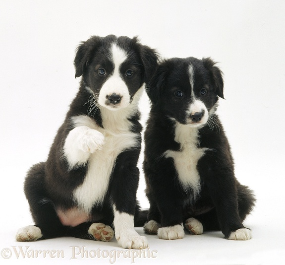 Black-and-white Border Collie pups, 6 weeks old, white background