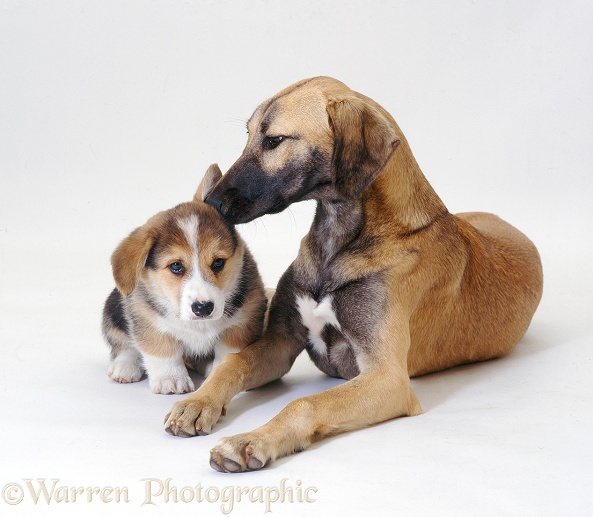 Lurcher and Corgi pup