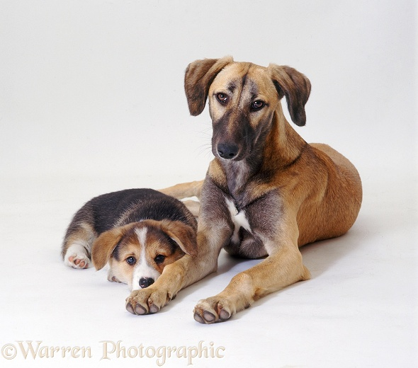 Saluki Lurcher, Tansy, and Pembrokeshire Welsh Corgi pup, white background