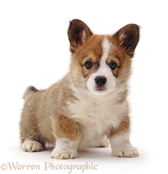Pembrokeshire Welsh Corgi puppy, 8 weeks old, white background