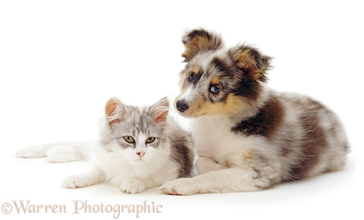 Blue merle Shetland Sheepdog, Sapphire, with silver-and-white kitten, Saphira, white background