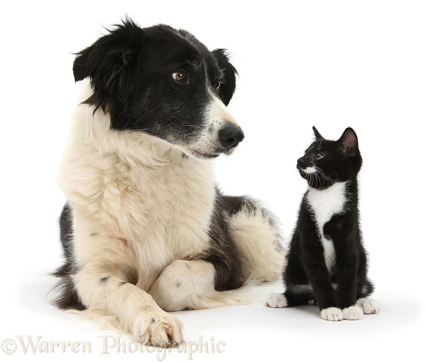 Black-and-white Border Collie bitch, Phoebe, with black-and-white tuxedo male kitten, Tuxie, 9 weeks old, white background