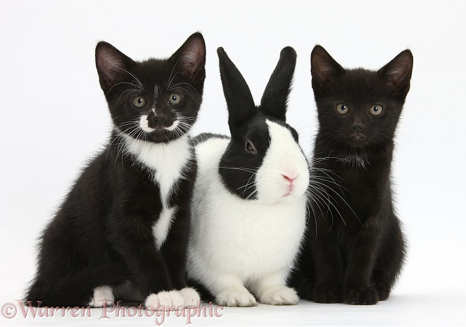 Black and black-and-white tuxedo male kittens, Buxie and Tuxie, 8 weeks old, with black-and-white Dutch rabbit, white background