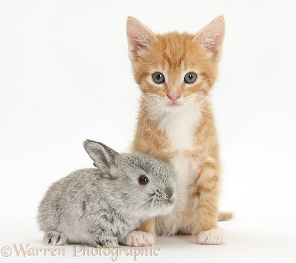 Ginger kitten, Tom, 7 weeks old, and baby silver Lop rabbit, white background