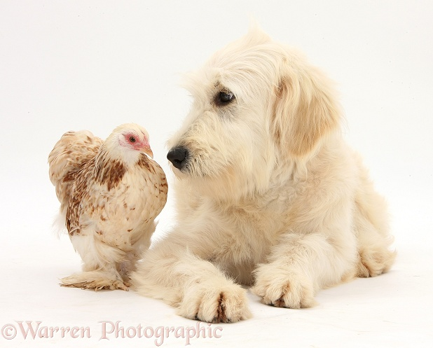 Goldendoodle bitch, Jasmine, 6 months old, and bantam chicken, white background